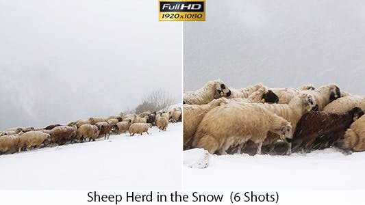 Thumbnail for Livestock in The Snow