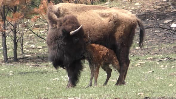 Thumbnail for Bison aka Buffalo Cow Female Young Calf Baby in Spring Newborn Wet Wobbly