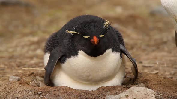 Thumbnail for Rock Hopper Penguins Shot In The Falkland Islands