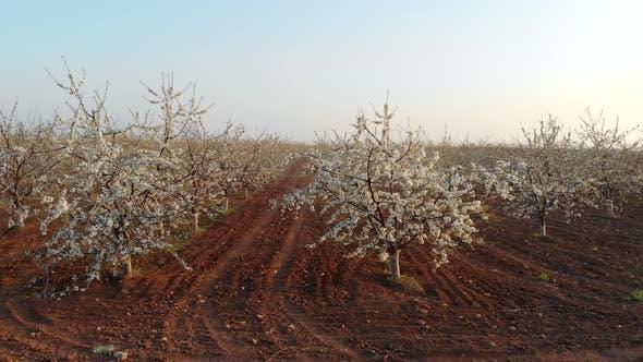 Thumbnail for Sweet Cherry Garden Nature Landscape