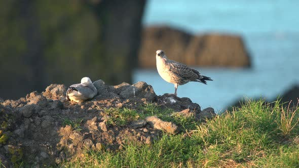 Thumbnail for Two Seagulls On The Rock