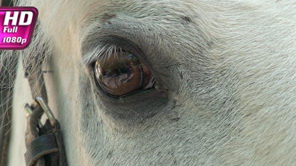 Equine Eye