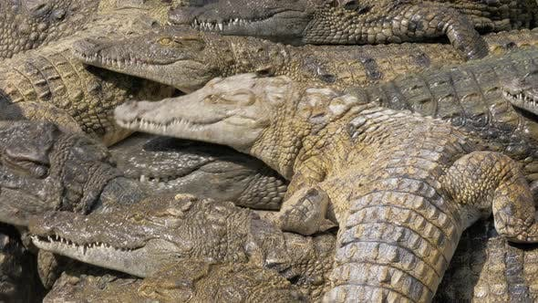 Many Hungry Crocodiles Competing for Food