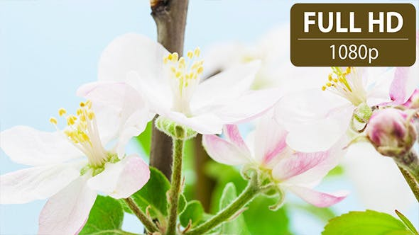Thumbnail for Apple Flower 2
