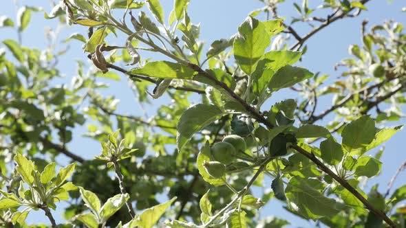 Thumbnail for Apfelbaum Obstgarten gegen blauen Himmel Zeitlupe 1080p FullHD Filmmaterial - Nahaufnahme junger Frühlingspiek