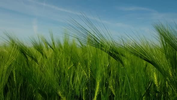 Thumbnail for Green Ripe Wheat Field