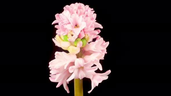 Thumbnail for Growing and Opening Pink Hyacinth Flower on Black Background