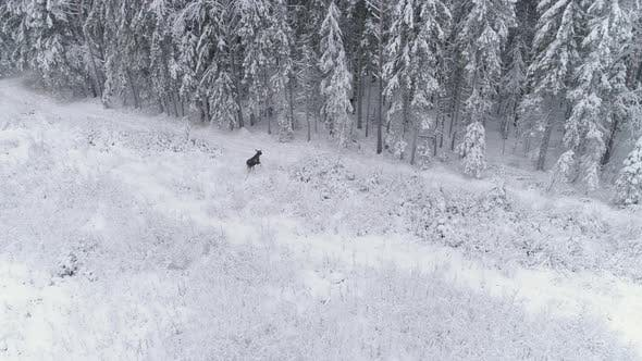 Thumbnail for Moose Running into Forest in Winter Aerial View