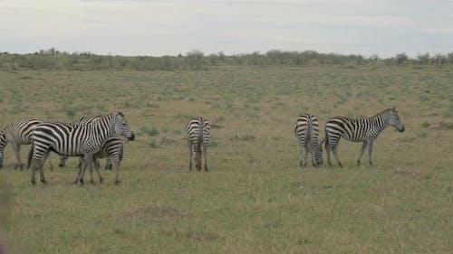Dazzle of zebras in Maasai Mara