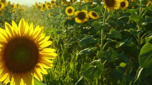Sunflowers In Green Nature 11