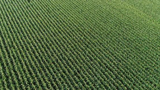 Thumbnail for Landwirtschaft Luftaufnahme von Maisfeld