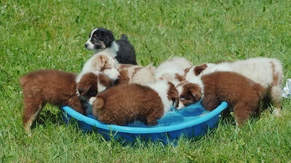 Thumbnail for A Group of Puppies of the Breed Australian Shepherd Drinks Water From a Small Pool in the Backyard