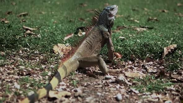 The Iguana Is Sitting On The Grass, The Iguana Is Eating. Exotic Animal. Lizard. Giant Iguana.