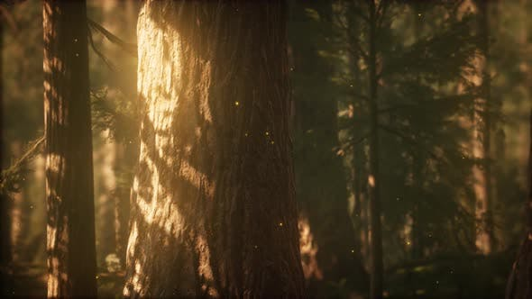 Thumbnail for Wild Pine Forest at Sunrise