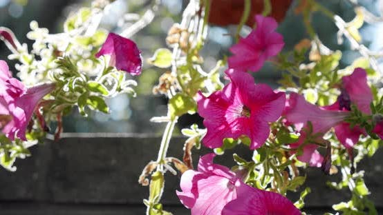 Thumbnail for Pink Salmon Petunia Flower with Sunrise and Swaying in the Breeze. Close Up Slow Motion