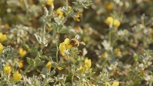 Little bee pollinates yellow wildflowers