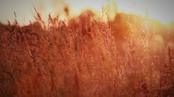 Thumbnail for Spikelets Of Wild Grass In Rays Of Evening Sun