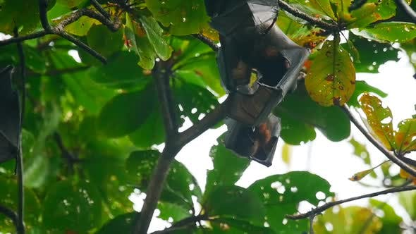 Cover Image for Flying Foxes Hanging on a Tree Branch and Washing Up