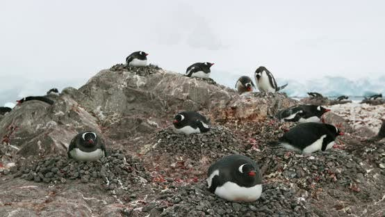 MS Ggentoo penguin (Pygoscelis papua) colony on rock at Waterboat Point / Antarctic Peninsula, Antar