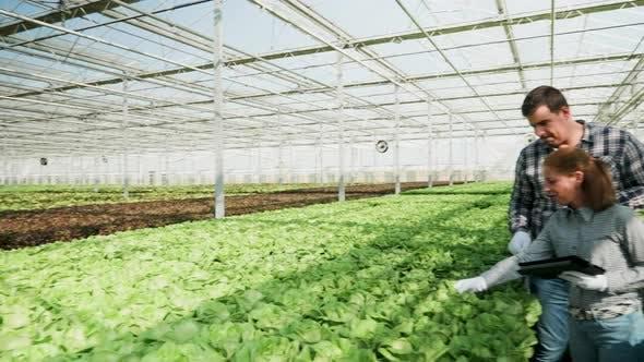 Thumbnail for Experten für Agronomie in einem Gewächshaus überprüfen eine Ernte