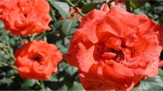 Thumbnail for Roses 11