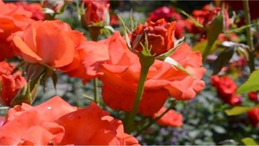 Thumbnail for Roses 20
