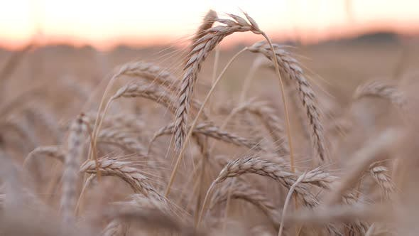 Thumbnail for Beautiful Wheat Corn