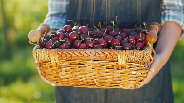 Farmer Holds Basket with Cherries, Fresh Fruits From the Farm