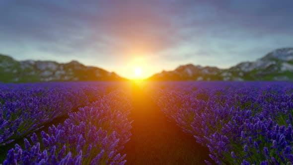 Thumbnail for Lavender Field Sunset