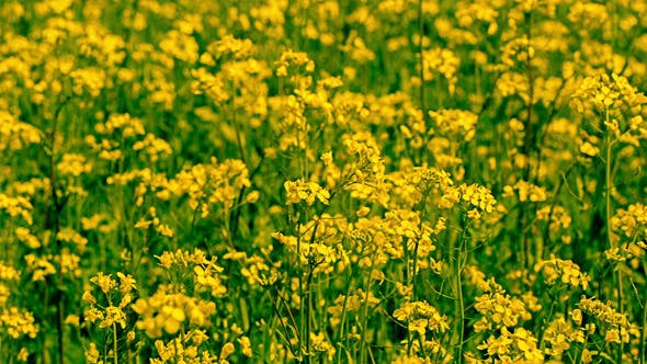 Thumbnail for Yellow Oilseed Rape Flowers in the Field 794