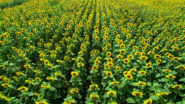 Thumbnail for Aerial View Sunflowers Field