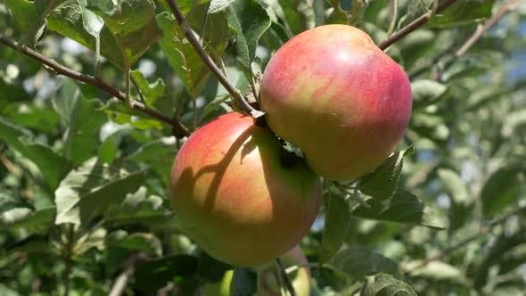 Organic  apple tree 4K 2160p UHD  footage - Juicy apples  4K 3840X2160 UHD high definition  video