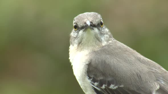 Thumbnail for Northern Mockingbird Adult Lone Looking Around in Winter in Florida