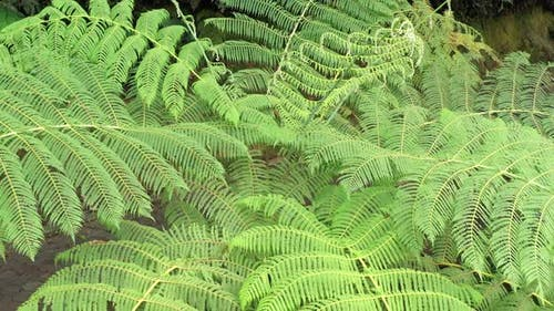 Zooming out on a very large green fern that is standing next to a paved pedestrian path