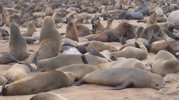Thumbnail for Big sea lion colony at Cape Cross Seal Reserve