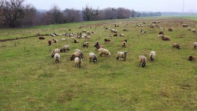 Herd of sheep outdoors. Sheep farming. Flock of sheep in a field