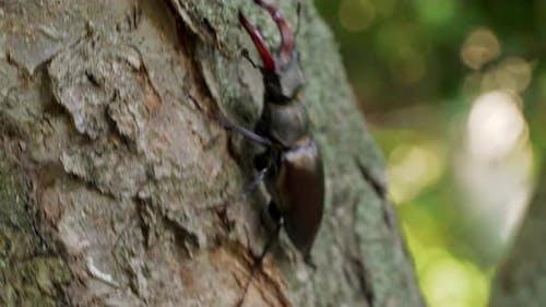 Large Beetle Lucanus Cervus Creeps Along the Bark of a Tree