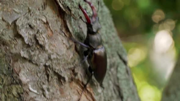 Thumbnail for Large Beetle Lucanus Cervus Creeps Along the Bark of a Tree