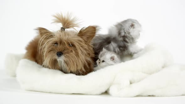 Two cute fluffy kittens sitting with puppy on white blanket
