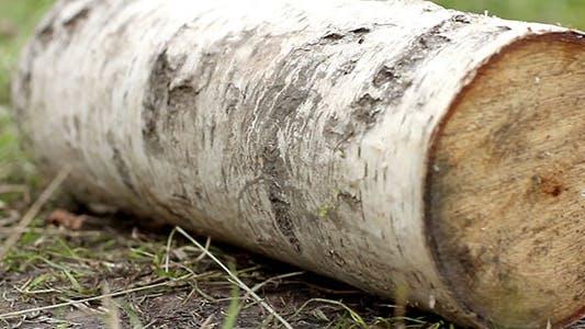 Thumbnail for Birch Log On Grass
