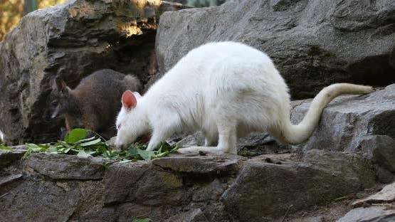 grazing white albino kangaroo, Red necked Wallaby