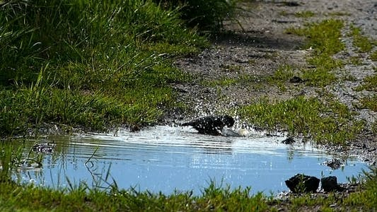 Thumbnail for Starling Common  (Sturnus Vulgaris)