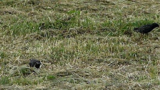 Thumbnail for Common Starlings (Sturnus vulgaris)