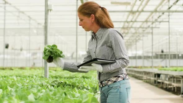Cover Image for Female Agronomy Engineer Typing on Her Tablet After Inspecting Ogranic Green Salad