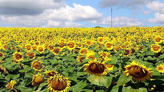 Thumbnail for Sunflower Field