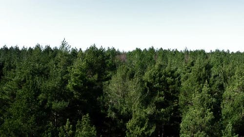 Forest Tree Tops