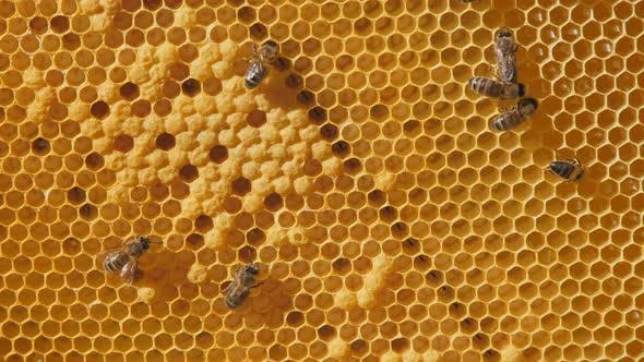 Thumbnail for Swarm of Bees Working on a Honeycomb Carries Honey and Nectar, Close Communication of Bees, Bee
