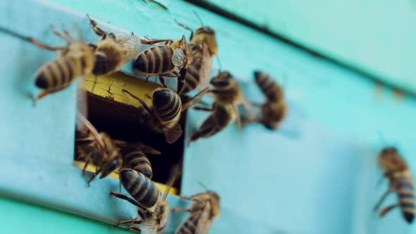 Thumbnail for Bees Swarm Near the Entrance to the Hive