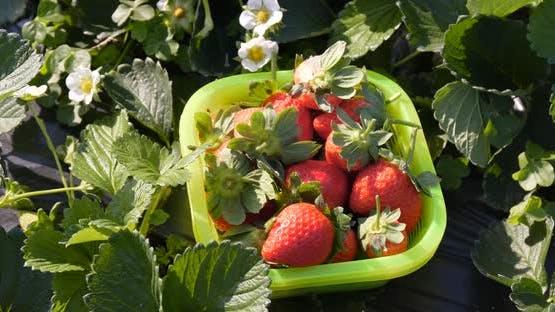 Harvest of strawberry