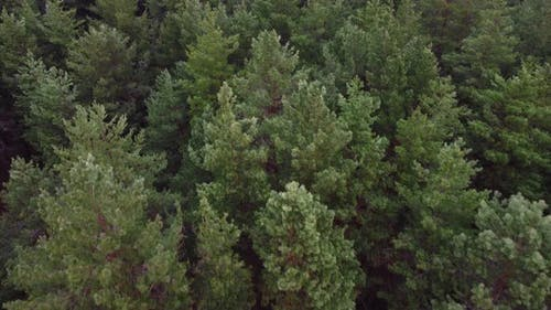 Aerial Shot of Pine Tree Forest